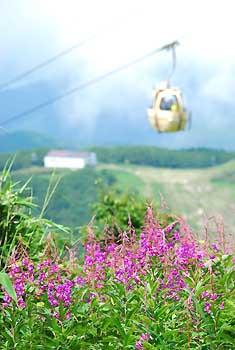 ヤナギラン、夏の高原に彩り 東館山高山植物園|信州の花だより 信濃 ...