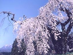 袖之山の枝垂桜